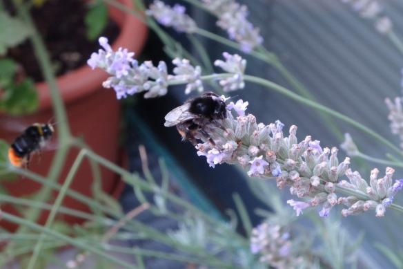 Lavender 1 HappyFace313